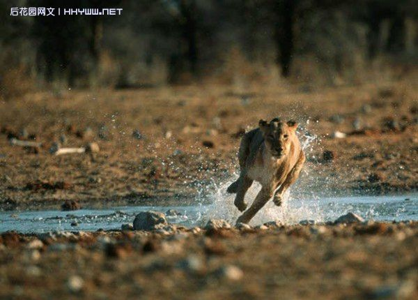 野生动物捕食的精彩瞬间