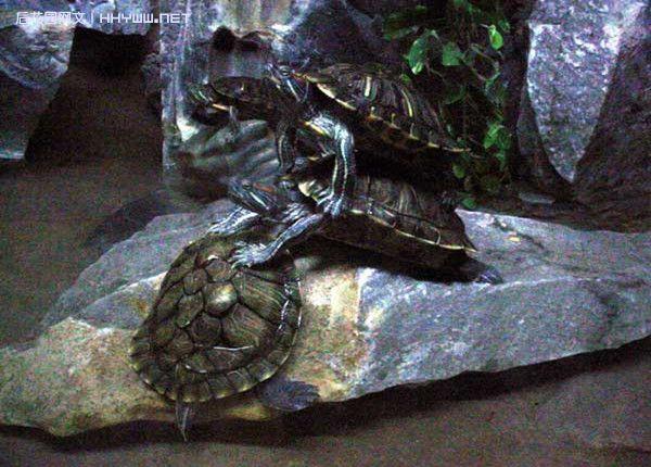 『动物世界』乌龟叠罗汉趣味图片