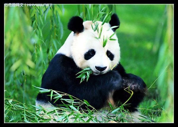 『动物世界』憨态可掬的国宝大熊猫